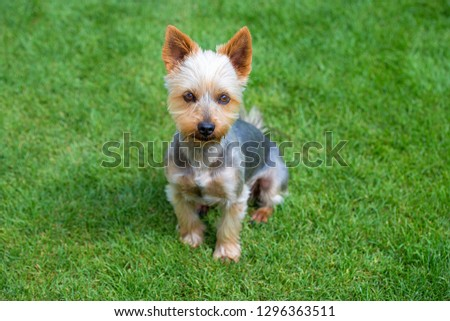 Adorable Australian Silky Terrier posing on fresh mowed lawn in summer day. Dog sitting on fresh cut grass waiting for the command.  #1296363511
