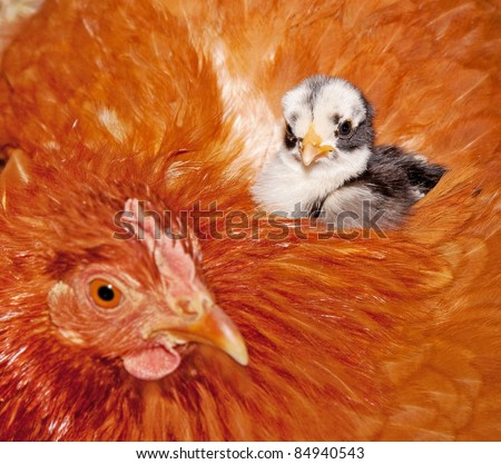 stock-photo-adorable-baby-chick-resting-in-safety-of-mama-hens-back-feathers-selective-focus-on-chick-84940543.jpg