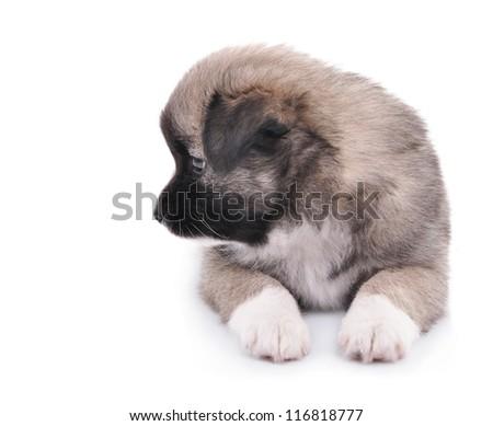 adorable baby dog isolated on white background
