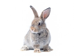 Adorable baby gray rabbit sitting isolated on white background. Lovely action of young rabbit.