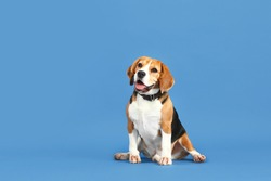 Adorable Beagle dog on color background