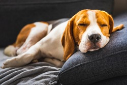 Adorable beagle hound in bright interior background. A pet sitting on the sofa with sad face. Depression concept