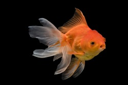 Adorable beautiful fantail Goldfish movement with bubbles & water pumps in the tank on darkness background