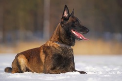 Adorable Belgian Shepherd dog Malinois with a chain collar lying down on a snow in winter