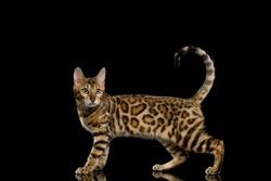 Adorable Bengal Cat Showing his gold fur on Isolated Black Background, side view