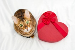 Adorable bengal cat sitting near red heart-shaped gift box on white background,looking at camera.Valentine day and pet concept