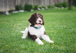 Adorable bernedoodle puppy laying on the grass in a backyard.