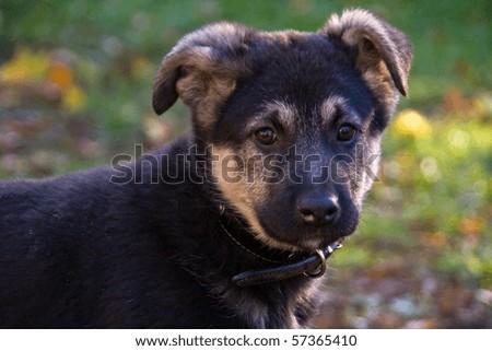 crossbreed puppy (German Shepherd and Newfoundland mix) - stock photo