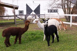 Adorable black and brown young alpacas standing in their enclosure in front of other animals staring with funny expressions during a Fall afternoon, Quebec City, Quebec, Canada