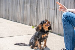 Adorable black and tan Cavalier King Charles Spaniel behaving well and paying attention during a training session outdoors.