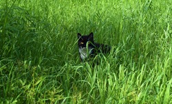 Adorable black and white Cat in high garden grass in sunny and summer season - beautiful front animal portrait - Kongsvinger, Norway