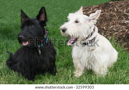 Scottish Terrier Puppies on Adorable Black And White Scottish Terrier Dogs Stock Photo 32599303
