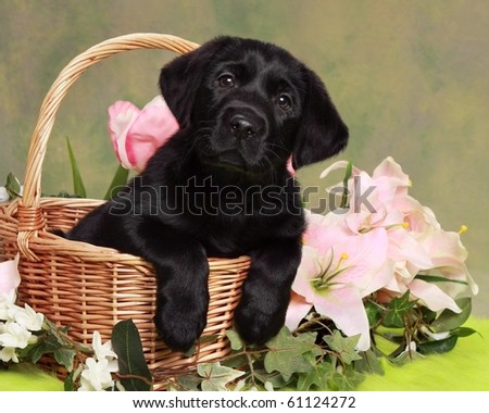 Black Labrador Puppies on Adorable Black Labrador Puppy In Basket With Flowers Stock Photo