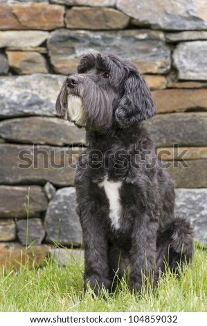 Adorable black Portuguese Water Dog sitting in grass