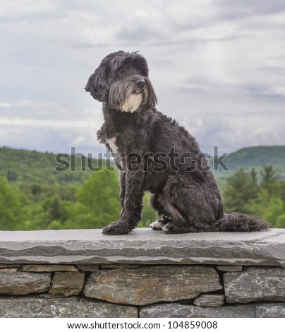 Adorable black Portuguese Water Dog sitting on a wall