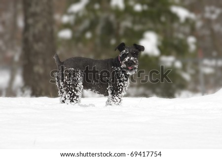 Adorable black schnauzer taking a break from playing in the snow