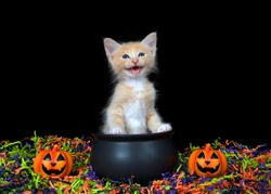 Adorable blue eyed orange buff kitten meowing, sitting in a cauldron with happy Jack o Lanterns, orange, green, purple and black confetti below and black background. Fun Halloween animal antics.