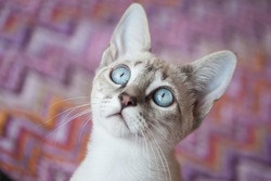 Adorable blue eyes cat with colorful background