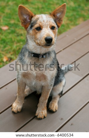 Blue Heeler Puppies on Adorable Blue Heeler Puppy Stock Photo 6400534   Shutterstock