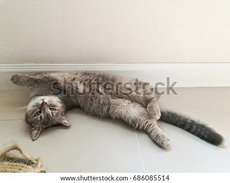 Adorable blue tabby British Shorthair Munchkin kitten playing cute on the floor