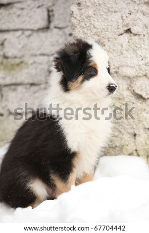 Adorable Border collie puppy in winter