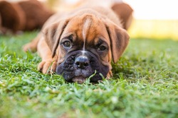 Adorable boxer puppy lying in the grass