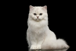 Adorable British breed Cat White color with Blue eyes, Sitting and looking in Camera on Isolated Black Background, front view