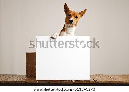 Adorable brown and white basenji dog holding a large blank white sign in a studio with white walls and beautiful rustic brown wooden floor Сток-фото ©