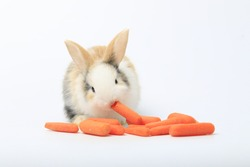 Adorable bunny easter rabbit eating carrot on white background.
