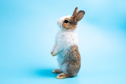 Adorable bunny easter rabbit stands up on two legs, running around and sniffing, looking around, on blue screen.
