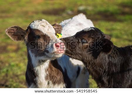 Adorable calf licking other calf's ear