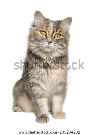 Adorable calico cat looking at the camera