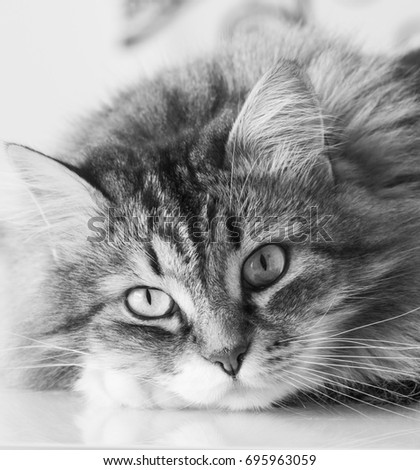Adorable cat face with long hair, hypoallergenic siberian
