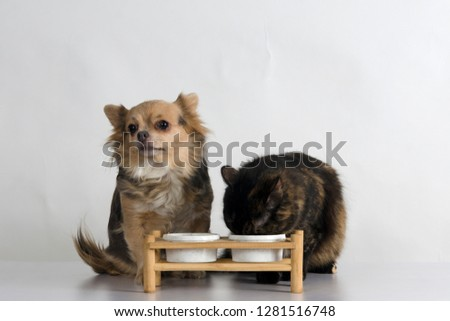Adorable cat of tortoiseshell color and beautiful chihuahua dog eating together from the plastic bowls on wooden stand for pets (cats and dogs) in studio against white background. Pets feeding concept #1281516748