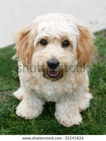Cavachon Puppies on Adorable Cavachon Puppy Stock Photo 32241826   Shutterstock