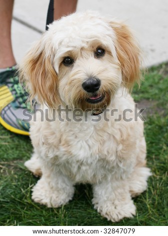 Cavachon Puppies on Cavachon Puppy Cavachon Puppy Sitting In A Find Similar Images