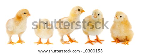 Adorable chicks a over white background