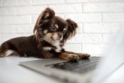 adorable chihuahua dog typing on a computer