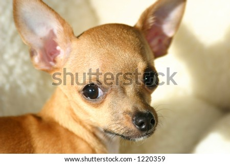 Adorable chihuahua puppy dog, close-up