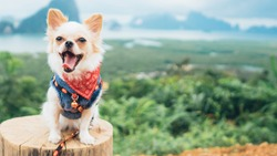 adorable chihuahua puppy sitting with view point,Thailand