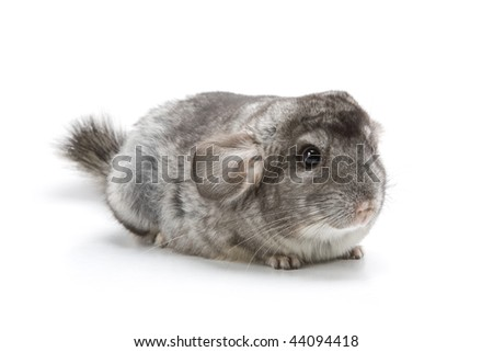 Adorable chinchilla isolated on a white background - stock photo