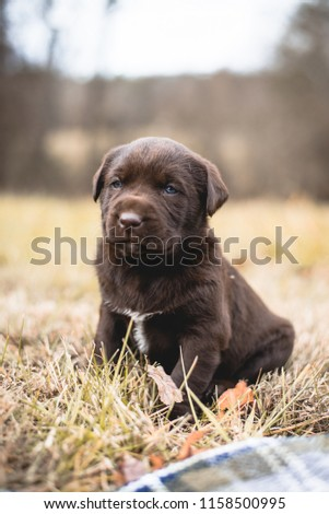 Adorable Chocolate Lab Puppy Sitting in Green Grass Outdoors in Autumn