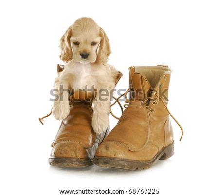 adorable cocker spaniel puppy sitting in pair of old workboots