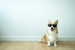 adorable corgi dogs wear sunglasses that are trained to obey orders and wait for their owners.The dog training school trains Corgi dogs to sit and wait and wait for orders.