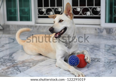 Adorable creamy dog holding two balls by its legs