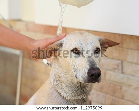 Adorable creamy dog taking a baht