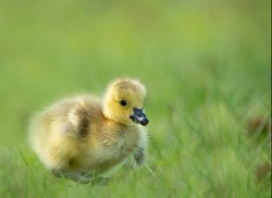 Adorable Cute Baby Goose Gosling Sitting on Green Grass in a Park Eating with a Beautiful Colorful Green Smooth Blurred Background