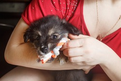 Adorable cute black puppy dog sitting in female hands and gnawing a toy.