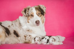 Adorable cute dog family. Puppies with their mother. Australian shepherd puppies. Aussie. Merle. Purebred litter. Group of puppies and adult dog.