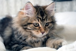 Adorable cute, fluffy purebred Siberian kitten, brown, black and white.  Concepts of family pet, allergy, hypoallergenic